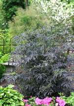 06_sambucus_black_lace