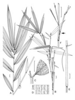 Bamboo_drawings_small