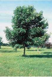 Ash_tree_usda