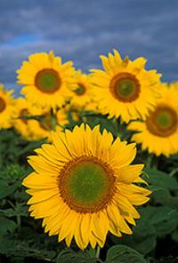 Ars_sunflowers_bruce_fritz