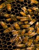 Ars_honeybees