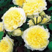 Pilgrim_rose_david_austin_2