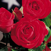 Veterans_honor_rose