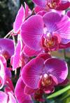Usbg_orchid_small