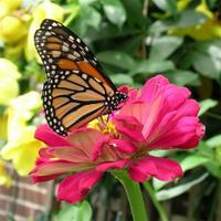 A_monarch_zinnia_nat_his_mus_small