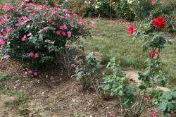 Roses_conard_small_2