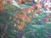 A_palmatum_aureovariegatum_leaf_2