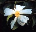 Camellia_lusnow2