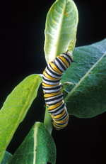 Caterpillar_usda
