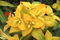 Euphorbiajessiem