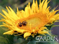 Gd_sunflower_640x480