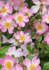 Rosa_oso_easy_peachy_cream