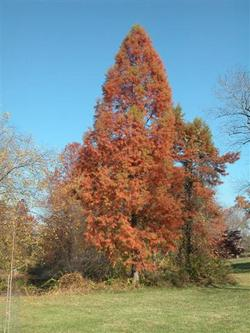 Taxodium_small